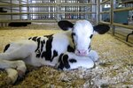 A newborn calf lies in a pen at the University of Vermont dairy farm Thursday, July 23, 2020, in Burlington, Vt. When the coronavirus pandemic forced the University of Vermont to close and send its students home, the school worried about who would take care of the cows, normally tended to by students. In no time, dozens of alumni and students of a particular agriculture program clamored to spend their spring and summer caring for the Holsteins. (AP Photo/Lisa Rathke)