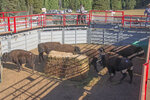 This Sept. 15, 2019, photo, provided by the National Park Service, show bison in a corral at Grand Canyon National Park, Ariz. Over 30 bison roaming Grand Canyon National Park's northern reaches are joining a herd in Oklahoma. Hundreds of the massive animals have made their home at the Grand Canyon in recent years, but park officials say they're spoiling water sources and harming the landscape. (Bryan Maul/National Park Service via AP)