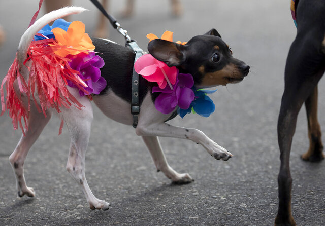 A dog dressed for carnival participates in the