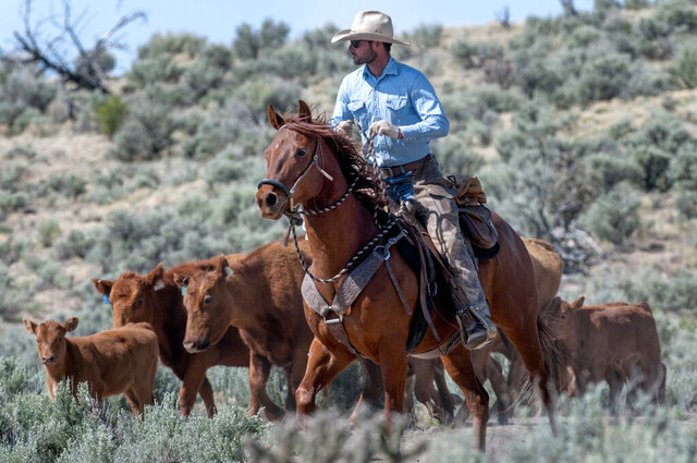 In this Tuesday, May 5, 2020 photo, rancher Matt Reitzel helps gather up his uncles' cattle in a large pasture on the Carson National Forest north of Ojo Caliente, N.M. The cattle was moved to higher ground where there is more moisture. (Eddie Moore/The Albuquerque Journal via AP)