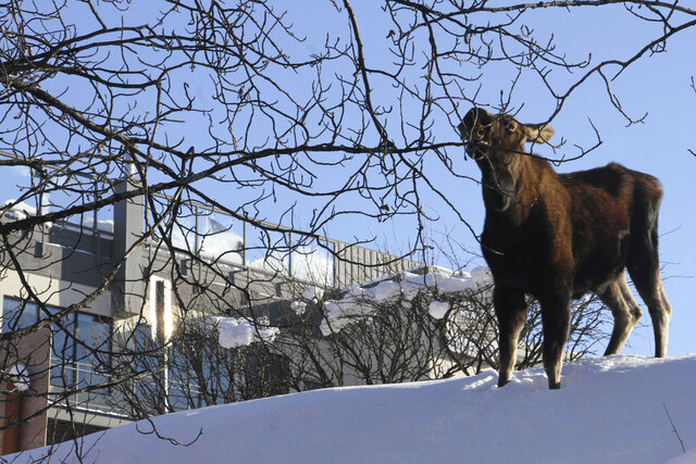 FILE - In this Feb. 24, 2020, file photo a moose munches on a tree in downtown Anchorage, Alaska. Alaska wildlife officials have a message for residents: Please don't feed the moose. State Fish and Game officials said Wednesday, April 1, 2020, they've seen an uptick in people feeding moose such foods as carrots and apples after a heavy snow season that left many of animals thin and nutritionally vulnerable. Plus, intentionally feeding moose is illegal, and can result in a misdemeanor violation of state game feeding laws. Unintentional feeding can result in a $300 ticket from Alaska Wildlife Troopers. (AP Photo/Mark Thiessen, File)