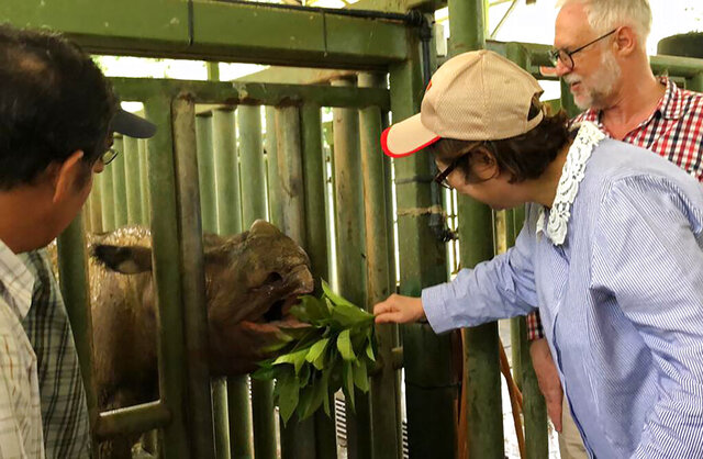"In this Aug. 18, 2019, photo, Sabah Deputy Chief Minister Christina Liew, right, looks at rhino ""Iman"" in cage in eastern Sabah state . The Sumatran rhinoceros has become extinct in Malaysia, after the last of the species in the country succumbed to cancer. The Wildlife Department in eastern Sabah state on Borneo island says the rhino died of natural causes Saturday, Nov. 24, due to shock in her system.(Sabah Deputy Chief Minister's Office via AP)"