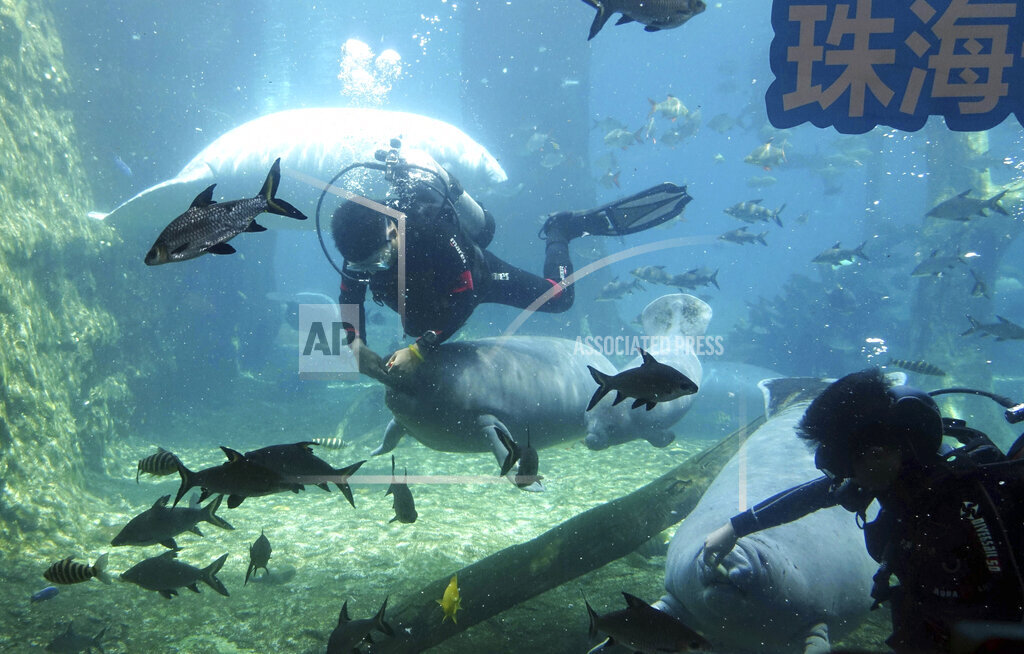 CHINA CHINESE GUANGDONG ZHUHAI CHIMELONG OCEAN KINGDOM MANATEE