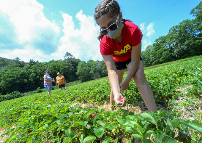 Olivia Gale, 10, from Dummerston, Vt., picks strawberries with her mother, Heidi White Gale, and grandmother, Stella White, at Duttons Berry Farm in Newfane, Vt., on Tuesday, June 23, 2020.  (Kristopher Radder/The Brattleboro Reformer via AP)