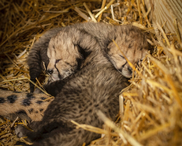 This undated photo provided by the Columbus Zoo and Aquarium shows two cheetah cubs. Ohio zoo officials announced Monday, Feb. 24, 2020, that the two cheetah cubs have been born through in vitro fertilization and embryo transfer to a surrogate mother for the first time. (Columbus Zoo and Aquarium via AP)