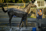 Essential Quality (2) is bathed after winning the 153rd running of the Belmont Stakes horse race, Saturday, June 5, 2021, at Belmont Park in Elmont, N.Y. (AP Photo/Eduardo Munoz Alvarez)