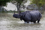 A one-horned rhinoceros walks in floodwaters in Pobitora wildlife sanctuary, east of Gauhati, India, Friday, July 19, 2019. The sanctuary has the highest density of the one-horned Rhinoceros in the world. (AP Photo/Anupam Nath)