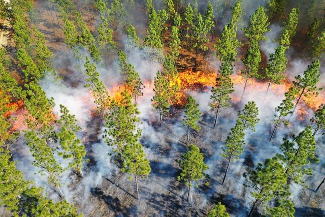 This photo provided by The Nature Conservancy shows a prescribed fire sweeping through longleaf pines in 2019 at The Nature Conservancy's Calloway Preserve near Fort Bragg, N.C.  An intensive effort in nine coastal states from Virginia to Texas is bringing back longleaf pines -- armor-plated trees that bear footlong needles and need regular fires to spark their seedlings' growth and to support wildly diverse grasslands that include carnivorous plants and harbor burrowing tortoises.  (Margaret Fields/The Nature Conservancy via AP)