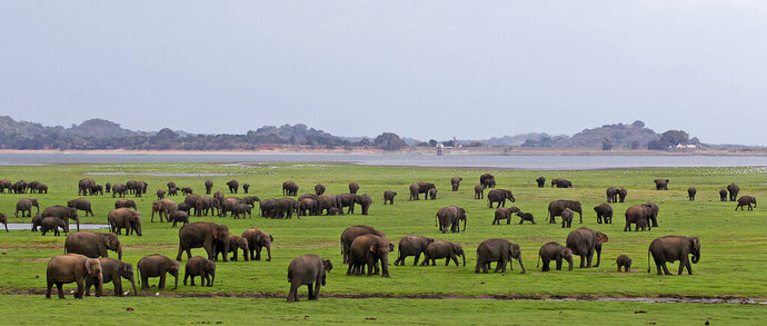 FILE- In this Aug. 12, 2011 file photo, a herd of Asiatic wild elephants gather at a national park in Minneriya, some 200 kilometers (125 miles) from Colombo, Sri Lanka. Sri Lankan authorities announced Wednesday that they will offer livestreams from the island nation's wildlife parks in an apparent move to help revive a tourism industry that has been decimated by the coronavirus pandemic. (AP Photo/Chamila Karunarathne, File)