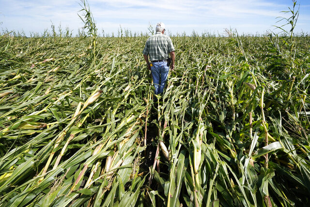 Rod Pierce walks through a cornfield damaged in the derecho earlier this month, Thursday, Aug. 20, 2020, near Woodward, Iowa. Pierce is among hundreds of Iowa farmers who are still puzzling over what to do next following the Aug. 10 derecho, a storm that hit several Midwestern states but was especially devastating in Iowa as it cut west to east through the state's midsection with winds of up to 140 mph. (AP Photo/Charlie Neibergall)