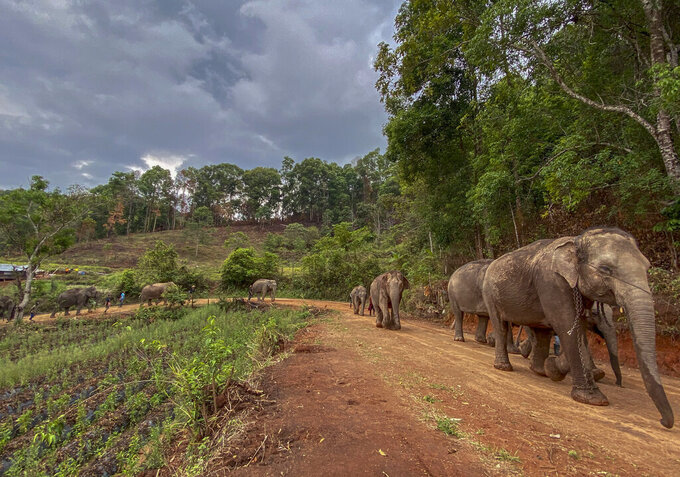 In this Thursday, April 30, 2020, photo provided by the Save Elephant Foundation, a herd of 11 elephants walk along a dirt road during a 150-kilometer (93 mile) journey from Mae Wang to Ban Huay in northern Thailand. Save Elephant Foundation are helping elephants who have lost their jobs at sanctuary parks due to the lack of tourists from the coronavirus pandemic to return home to their natural habitats. (Save Elephant Foundation via AP)