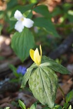 This April 21, 2011 photo shows a mixed pair of trillium growing on a wooded property near New Market, Va. The yellow trillium, foreground, gives off a lemony scent while the white trillium in the rear generally is found growing wild in drifts ranging from a few dozen to several hundred from Ontario to Georgia. (Dean Fosdick via AP)