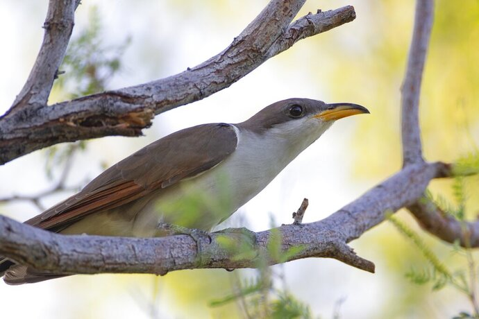 This July 8, 2019, photo provided by the United States Fish and Wildlife Service, Pacific Southwest Region, shows a yellow-billed cuckoo. Audubon experts are celebrating the U.S. Fish and Wildlife Service's recent decision to keep the western yellow-billed cuckoo under the Endangered Species Act, ruling against a petition for removal, the Arizona Republic reports. (Peter Pearsall/United States Fish and Wildlife Service via AP)