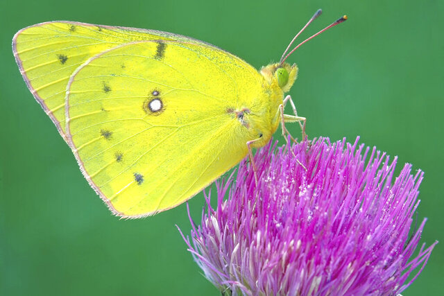 "This undated photo provided by Michael Thomas in April 2020 shows a clouded sulphur butterfly in Cromwell, Conn. In an April 2020 interview, Ann Swengel, a citizen scientist tracking butterflies for more than 30 years, recalled that a few decades ago she would drive around Wisconsin ""look out in a field and you'd see all these Sulphur butterflies around. I can't think of the last time that I've seen that."" (Mike Thomas via AP)"