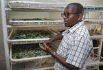 In this photo taken Friday, April 26, 2019, Director of the National Sericulture Research Center, Muo Kasina, stands by silkworms feeding on mulberry leaves at the center in Thika, Kenya. A growing number of Kenyan farmers are turning to silk production as they move away from traditional cash crops such as coffee, maize, sugarcane and cotton, with the mulberry trees the silkworms need to survive seen as less affected by a changing climate. (AP Photo/Khalil Senosi)