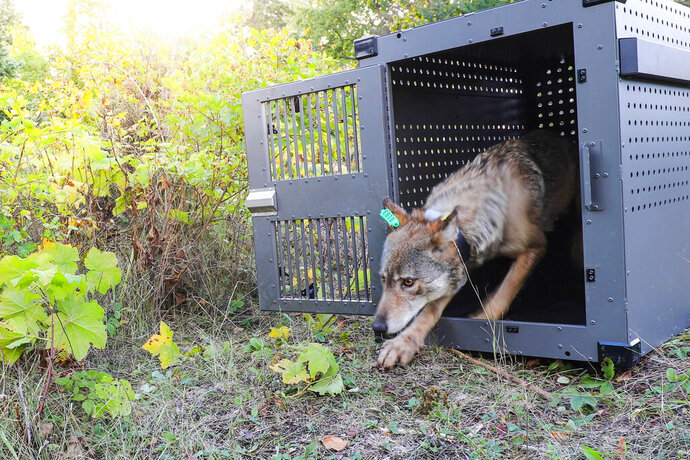 FILE - This Wednesday, Sept. 26, 2018, file photo provided by the National Park Service shows a 4-year-old female gray wolf emerging from her cage at Isle Royale National Park in Michigan. A gray wolf that was moved from Minnesota to Isle Royale National Park in the fall of 2018 has wandered back to the mainland, trekking more than 15 miles across the frozen surface of Lake Superior to reach her home turf, officials said Wednesday, Feb. 6, 2019. The female was among four wolves relocated from the Grand Portage Band of Lake Superior Chippewa reservation in September and October, the first steps in an effort to restore the species at the park, where a predator is needed to prevent moose overpopulation. (National Park Service via AP, File)
