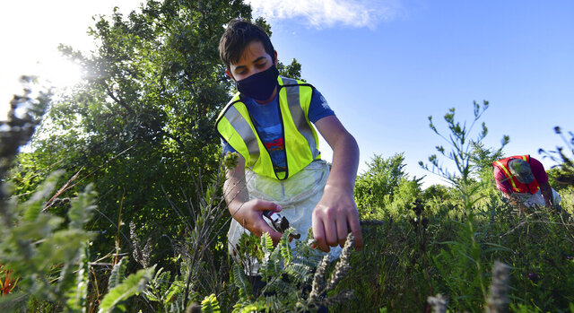 Adam Gage, 14, of River Falls, Wis., collects lead plant seeds as he volunteers with