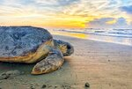 FILE - In this June 30, 2019, file photo provided by the Georgia Department of Natural Resources, a loggerhead sea turtle returns to the ocean after nesting on Ossabaw Island, Ga. Louisiana will help inshore shrimpers buy turtle escape hatches that will be required next year for some boats, Gov. John Bel Edwards said Tuesday, Oct. 13, 2020. The program affects only Louisiana shrimpers requiring turtle excluder devices in some skimmer trawls to take effect in all Gulf and southeastern Atlantic states on April 1, 2021. (Georgia Department of Natural Resources via AP)