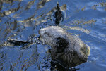 In this photo taken Monday, March 26, 2018, a sea otter is seen at the Monterey Bay Aquarium in Monterey, Calif. California sea otters, once thought wiped out by the fur trade, are booming again in a federally-protected enclave of Northern California coast. But outside that sanctuary, a new study finds, a chain of unintended bad consequences has followed man's removal of otters as a top predator of the sea, and is preventing the furry creature's return to its former range from Baja California north. (AP Photo/Eric Risberg)