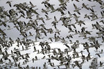 FILE - In this Dec. 13, 2019, file photo, thousands of snow geese take flight over a farm field at their winter grounds, in the Skagit Valley near Conway, Wash. The Biden administration on Monday, March 8, 2021, reversed a policy imposed under former President Donald Trump that drastically weakened the government's power to enforce a century-old law that protects most U.S. bird species. Trump ended criminal prosecutions against companies responsible for bird deaths that could have been prevented. (AP Photo/Elaine Thompson, File)