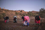 In this Tuesday, Nov. 5, 2019 photo, villagers pick Saffron flowers at dawn during harvest season in Askaoun, a small village near Taliouine, in Morocco's Middle Atlas Mountains. The saffron plants bloom for only two weeks a year and the flowers, each containing three crimson stigmas, become useless if they blossom, putting pressure on the women to work quickly and steadily. (AP Photo/Mosa'ab Elshamy)