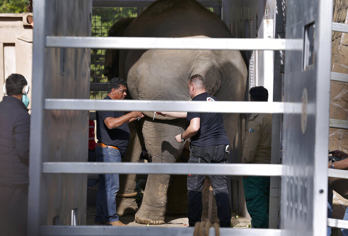 Veterinarians from Four Paws, an international animal welfare organization, inject medicine to an elephant named Kaavan before transporting him to a sanctuary in Cambodia, at the Marghazar Zoo in Islamabad, Pakistan, Sunday, Nov. 29, 2020. Kavaan, the world's loneliest elephant, who became a cause celebre in part because America's iconic singer and actress Cher joined the battle to save him from his desperate conditions at the zoo. (AP Photo/Anjum Naveed)