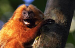 A Golden Lion Tamarin holds on to a tree in the Atlantic Forest region of Silva Jardim in Rio de Janeiro state, Brazil, Thursday, Aug. 6, 2020. A recently built eco-corridor will allow these primates to safely cross a nearby busy interstate highway bisecting one of the last Atlantic coast rainforest reserves. (AP Photo/Silvia Izquierdo)