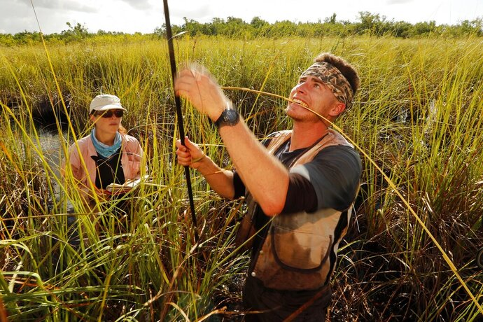 In this Wednesday, Oct. 30, 2019 photo, Lucas Lamb-Wooten, a PhD student at Florida International University, measures a blade of sawgrass during a research outing at Everglades National Park, near Flamingo, Fla. Lamb-Wooten is studying peat collapse in a coastal saw grass marshes. Research assistant Laura Bauman records data at left. (AP Photo/Robert F. Bukaty)