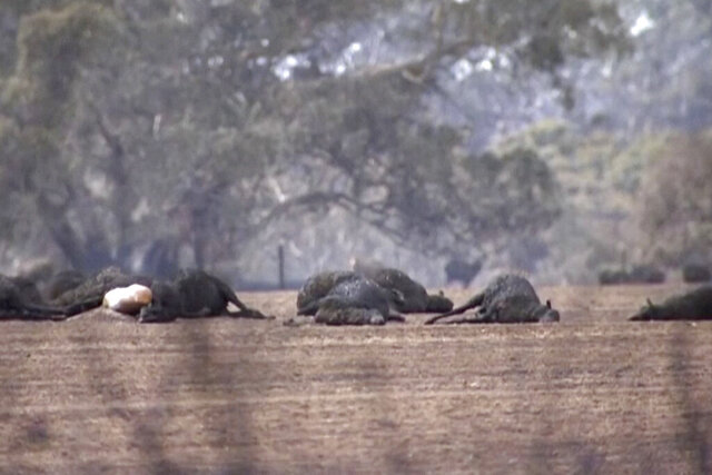 This image made from video shows dead kangaroos and sheep after wildfires hit the Kangaroo Island, South Australia Sunday, Jan. 5, 2020. Milder temperatures Sunday brought hope of a respite from wildfires that have ravaged three Australian states, destroying almost 2,000 homes. (Australian Broadcasting Corporation via AP)