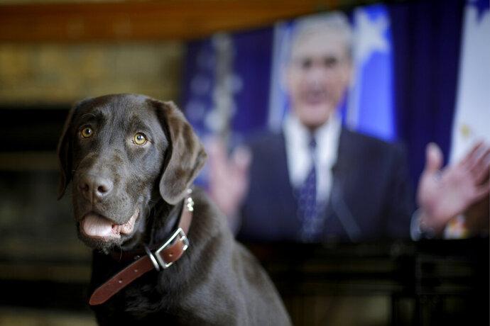 Alicia Barnett's Chocolate Labrador Retriever named