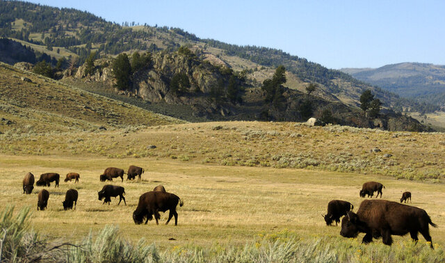 FILE - In this Aug. 3, 2016 file photo, a herd of bison graze in the Lamar Valley of Yellowstone National Park in Wyo. National park officials in Wyoming have announced plans for the selective slaughter of between 600 and 900 Yellowstone bison this winter to help manage population numbers. (AP Photo/Matthew Brown, File)