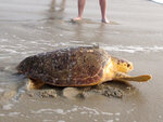 Tabitha, a 168-pound loggerhead turtle, crawls toward the surf in Point Pleasant Beach, N.J. Tuesday, Sept. 15, 2020, after being released by Sea Turtle Recovery, a volunteer group that rescues sick or injured turtles, nurses them back to health and returns them to the ocean. Tabitha was stranded in the surf in Cape May, on June 27, 2019, where she was near death weakened by pneumonia, severe anemia, and an intestinal blockage. The antenna on her back is a tracking device that should last for about 30 days. (AP Photo/Wayne Parry)