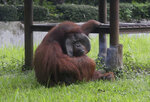 In this image made from video, an adult male orangutan smokes a cigarette in its enclosure at Bandung Zoo in Bandung, West Java, Indonesia, Sunday, March 4, 2018. The zoo infamous for mistreatment of animals is being slammed again by activists after a video emerged of one of its orangutans smoking. (AP Photo)