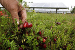 In this Wednesday, Oct. 2, 2019, photo, cranberry grower Mike Paduch holds some cranberries growing in the same bog where solar arrays are installed, behind, in Carver, Mass. Plummeting cranberry prices has America's cranberry industry eyeing a possible new savior: solar power. (AP Photo/Steven Senne)