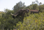 An elephant forages for food at Botlierskop Private Game Reserve, near Mossel Bay, South Africa, Tuesday, Oct. 24, 2019. The makers of a South African gin infused with elephant dung swear their use of the animal's excrement is no gimmick. The creators of Indlovu Gin, Les and Paula Ansley, stumbled across the idea a year ago after learning that elephants eat a variety of fruits and flowers and yet digest less than a third of it. (AP Photo/Denis Farrell)