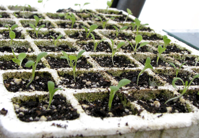 """This undated photo shows lettuce seedlings in New Paltz, NY. After three or four weeks, these lettuce plants will fill their """"cells"""" and be ready to transplant outdoors in the garden. (Lee Reich via AP)"""