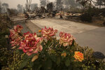Burnt roses are seen outside a destroyed home as destructive wildfires devastate the region on Friday, Sept. 11, 2020, in Talent, Ore. (AP Photo/Paula Bronstein)