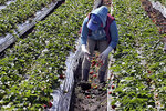 In this photo taken Monday, May 20, 2019, A field worker throws rain-ruined strawberries onto the ground in Watsonville, Calif. Field workers throughout the Pajaro Valley are picking ripe berries and throwing them on the ground since they become moldy with the rains. Winter is long past but wet weather continues to roll through California, and it's beginning to become a problem for crops ranging from wine grapes to strawberries. (Dan Coyro/Santa Cruz Sentinel via AP)