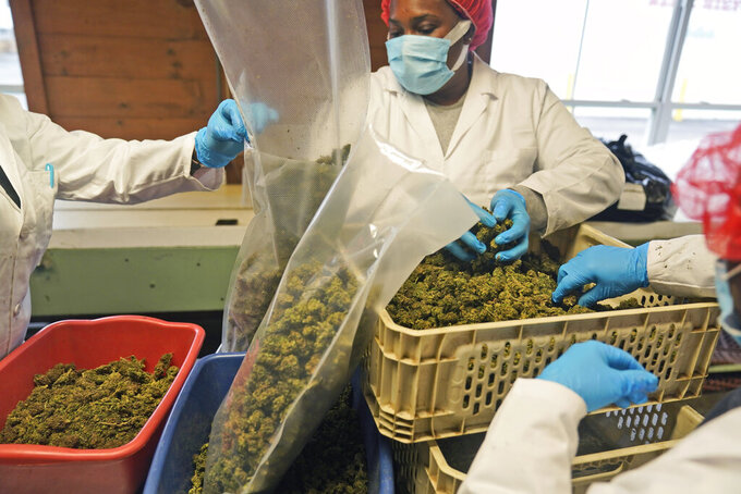 Workers sort and trim hemp plants at Hepworth Farms in Milton, N.Y., Monday, April 12, 2021. Last month, New York became the second-largest state to legalize recreational marijuana after California, with retail sales expected to begin as early as next year. (AP Photo/Seth Wenig)