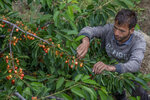 A Kashmiri farmer plucks cherries at an orchard in Waliwar village, north east of Srinagar, Indian controlled Kashmir, Wednesday, June 16, 2021. Cherry farmers in Kashmir who were not able get most of their produce to the markets last year because of the COVID-19 pandemic are hoping for good returns this year. (AP Photo/ Dar Yasin)