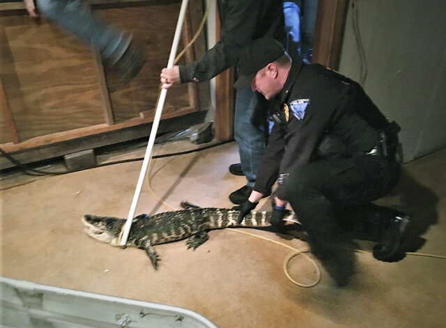 In this Thursday, Feb. 27, 2020 photo from the Madison Township Police Department, a Madison Township Police officer assists state wildlife officials to retrieve an alligator being kept in the basement of a residence in Groveport, Ohio. (Madison Township Police Department/Ohio Department of Agriculture via AP)