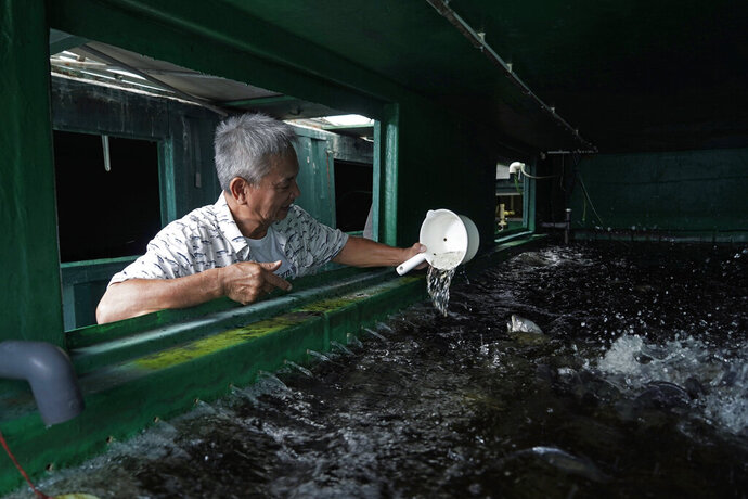 Arthur Lee, owner of MoVertical Farm, feeds his fish inside a shipping container in Yuen Long, Hong Kong's New Territories Tuesday, Sept. 22, 2020. After a career making the shipping containers that transport untold tons of freight around the world, Lee has stuck with the metal boxes in retirement, now by repurposing them as farming environments for raising crops and fish. Operating on a rented 1,000 square meter patch of wasteland in the Hong Kong's rural area, Lee's MoVertical Farm utilizes around 30 of the decommissioned containers to raise red water cress and other local vegetables hydroponically, which eliminates the need for soil. A few are also used as ponds for freshwater fish. (AP Photo/Kin Cheung)