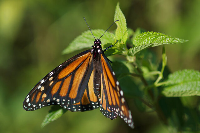 FILE - In this July 29, 2019, file photo, a monarch butterfly rests on a plant at Abbott's Mill Nature Center in Milford, Del. The western monarch butterfly population wintering along California's coast remained critically low for the second year in a row, a count by an environmental group released Thursday, Jan. 23, 2020, showed. (AP Photo/Carolyn Kaster, File)
