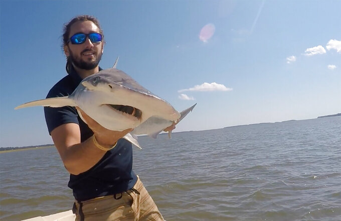 In this Sept. 2015 photo taken by Colby Griffiths on the North Edisto River in South Carolina, scientist Bryan Keller holds a bonnethead shark. Keller is among a group of scientists that found sharks use the Earth's magnetic field as a sort of natural GPS when they navigate journeys that take them thousands of miles across the world's oceans. (Photo courtesy Bryan Keller via AP)