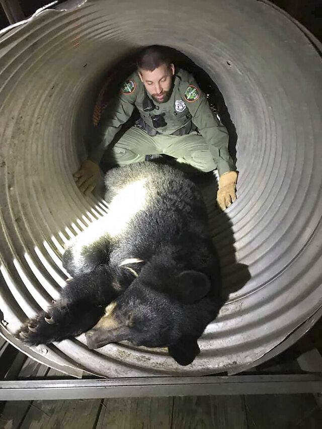 This Sunday, Dec. 29, 2019, photo provided by the Tennessee Wildlife Resources Agency (TWRA) shows TWRA officer Jeff Roberson with a bear caught after it was wandering around the University of Tennessee's baseball stadium in Knoxville, Tenn. The 200-pound (90 kilogram) black bear showed up as a walk-on at the Lindsey Nelson Stadium, but ended up being sent back to its home territory. (Tennessee Wildlife Resources Agency via AP)