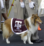 File-This photo taken Sept. 11, 2010, shows Texas A&M mascot Reveille VIII during the second quarter of an NCAA college football game against Louisiana Tech in College Station, Texas.  A service has been scheduled Aug. 30 at Kyle Field to remember late Texas A&M collie mascot Reveille VIII. Organizers say Reveille VIII will be laid to rest 10 years to the day from her debut as mascot. The revered 12-year-old dog had been ill and died June 25. (AP Photo/David J. Phillip, File)