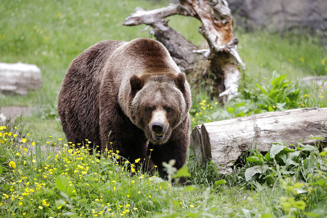 A grizzly bear roams an exhibit at the Woodland Park Zoo, closed for nearly three months because of the coronavirus outbreak, Tuesday, May 26, 2020, in Seattle. King County remains in phase one of Washington Gov. Jay Inslee's four-phase plan to reopen Washington's economy. It's unlikely the Seattle zoo could open in the coming weeks based on criteria being studied by Washington state officials. (AP Photo/Elaine Thompson)
