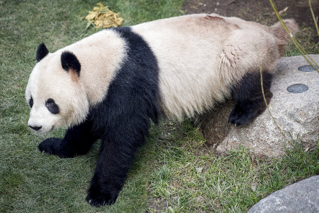 FILE - This Monday, April 8, 2019 file photo, shows the panda Xing Er at Copenhagen Zoo. Xing Er, one of Copenhagen Zoo's giant pandas, escaped from its enclosure, Monday June 8, 2020, and roamed the park before staff were able to sedate it and bring it back. (Mads Claus Rasmussen/Ritzau Scanpix via AP)