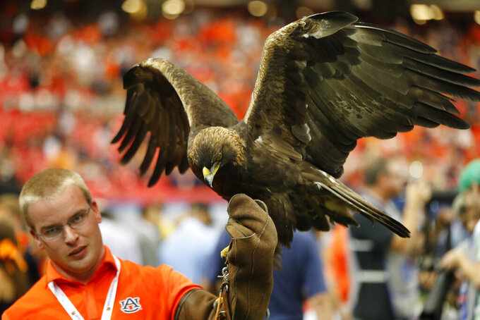 The Auburn War Eagle rests before the first half of an NCAA college football game against Louisville, Saturday, Sept. 5, 2015, in Atlanta. Football is being played in the Power Five conferences, but many of the longstanding traditions that go along with the games are on hold during the coronavirus pandemic. (AP Photo/John Bazemore)