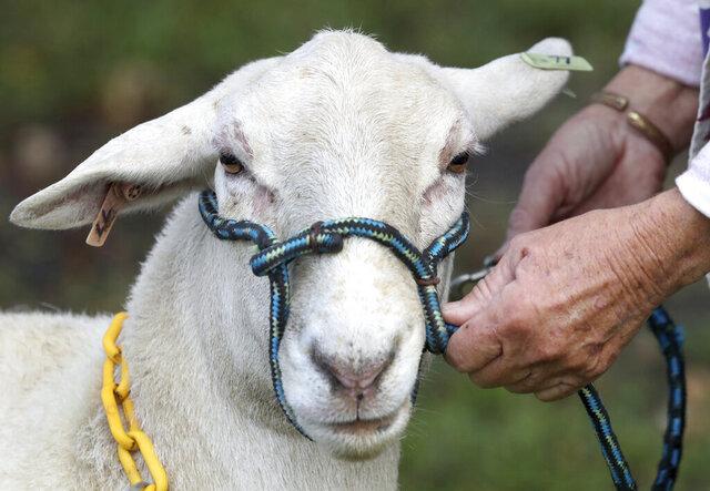 Ester, a Katahdin Hair Sheep, looks at visitors at the Four and Change Farm, Friday, Nov. 20, 2020, during the Volusia County Farm Tour, in Volusia County, Florida. (David Tucker/The Daytona Beach News-Journal via AP)
